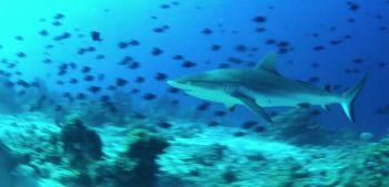Morotai Shark Diving Indonesia